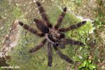 Tarantula [costa_rica_siquirres_0404]