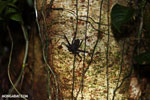 Whip-scorpion [costa_rica_siquirres_0413]