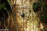 Whip-scorpion [costa_rica_siquirres_0414]