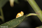 Tree frog [costa_rica_siquirres_0440]