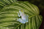 Glass frog [costa_rica_siquirres_0451]
