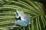 Glass frog [costa_rica_siquirres_0454]