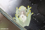 Glass frog [costa_rica_siquirres_0455]
