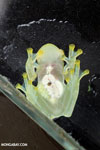 Glass frog [costa_rica_siquirres_0458]