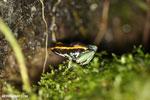 Golfodulcean poison frog (Phyllobates vittatus) [costa_rica_siquirres_0471]