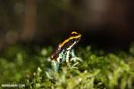 Golfodulcean poison frog (Phyllobates vittatus) [costa_rica_siquirres_0472]