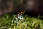 Golfodulcean poison frog (Phyllobates vittatus) [costa_rica_siquirres_0474]
