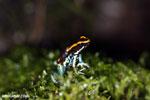 Golfodulcean poison frog (Phyllobates vittatus)