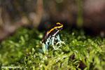Golfodulcean poison frog (Phyllobates vittatus) [costa_rica_siquirres_0477]