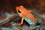 Granular Poison Frog (Oophaga granulifera)