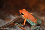 Granular Poison Frog (Oophaga granulifera) - red form