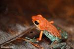Red Granular Poison Dart Frog (Oophaga granulifera)