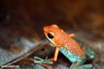 Granular Poison Dart Frog (Oophaga granulifera) - red form