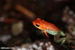 Granular Poison Arrow Frog (Oophaga granulifera)