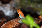 Granular Poison Arrow Frog (Oophaga granulifera) - red form