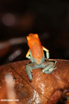 Red Granular Poison Dart Frog [costa_rica_siquirres_0497]