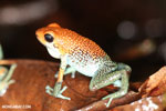 Red Granular Poison Arrow Frog (Oophaga granulifera) [costa_rica_siquirres_0500]