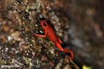 Strawberry dart frog [costa_rica_siquirres_0508]