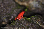 Strawberry dart frog [costa_rica_siquirres_0516]