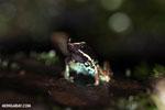 Poison dart frog (Phyllobates lugubris)