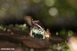 Poison arrow frog (Phyllobates lugubris)