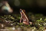 Phyllobates lugubris frog [costa_rica_siquirres_0524]