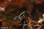 Poison arrow frog (Phyllobates lugubris) [costa_rica_siquirres_0526]