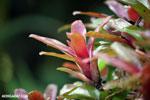 Bromeliad [costa_rica_siquirres_0532]