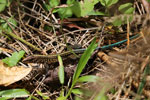 Lizard [costa_rica_siquirres_0537]