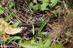Lizard [costa_rica_siquirres_0538]