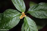 Plant [costa_rica_siquirres_0558]