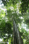 Siquirres rainforest [costa_rica_siquirres_0587]
