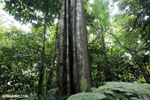 Siquirres rainforest [costa_rica_siquirres_0592]