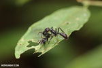 Ant [costa_rica_siquirres_0610]