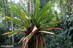 Bromeliad [costa_rica_siquirres_0617]