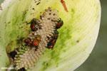 Bee [costa_rica_siquirres_0638]
