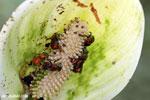 Bee [costa_rica_siquirres_0639]