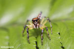 Jumping spider [costa_rica_siquirres_0656]