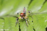Jumping spider [costa_rica_siquirres_0657]