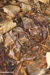 Moth [costa_rica_siquirres_0693]