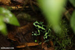 Green-and-black dart frog [costa_rica_siquirres_0701]
