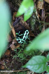 Green-and-black dart frog [costa_rica_siquirres_0703]