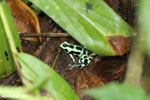 Green-and-black dart frog [costa_rica_siquirres_0708]