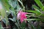 Plant [costa_rica_siquirres_0711]