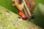 Strawberry dart frog [costa_rica_siquirres_0713]