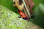 Strawberry dart frog [costa_rica_siquirres_0714]