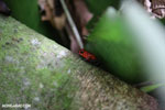 Strawberry dart frog [costa_rica_siquirres_0718]