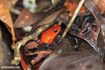 Strawberry dart frog [costa_rica_siquirres_0729]