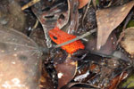 Strawberry dart frog [costa_rica_siquirres_0747]