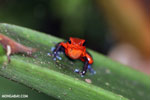 Strawberry dart frog [costa_rica_siquirres_0749]
